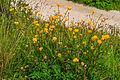Plants from Passo Pordoi 28.jpg