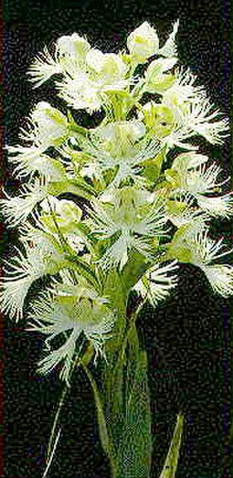 Manitoba Tall Grass Prairie Preserve - An example of the endangered western prairie fringed orchid that grows in the preserve