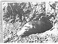 Platypus in a burrow(GN04204).jpg