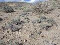Platyschkuhria integrifolia — Matt Lavin 007.jpg