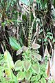 Plectranthus scutellarioides - El Yunque nat park PR IMG 2127.JPG