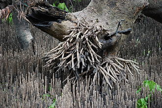 Aerial root - The Grey Mangrove (Avicennia marina)'s pneumatophorous aerial roots