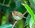 Poecilotriccus plumbeiceps -Nucleo Santa Virginia, Sao Luis do Paraitinga, Sao Paulo, Brasil-8.jpg