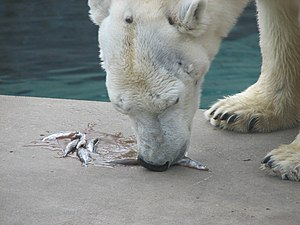 Polar Bear Eating Fish