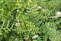 Polystichum setiferum 1zz.jpg