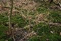 Polytrichum-commune-habitat.jpg