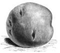 Pomme de terre Séguin Vilmorin-Andrieux 1883.png