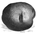 Pomme de terre farineuse rouge Vilmorin-Andrieux 1883.png