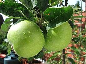 Pommes vertes.JPG
