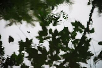 Nitobe Memorial Garden - Water walking insects on the pond
