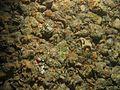 Porifera encrusting green WBRF CEND0313 MP24 STN 152 A1 010.jpg