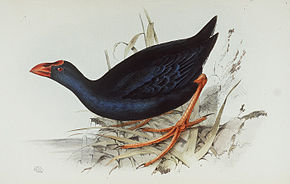 Description de l'image  Image:Porphyro porphyrio.jpg .