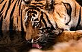 Portrait of a Tiger.jpg