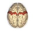 Postcentral gyrus - superior view2.png