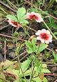 Potentilla nepalensis.jpg