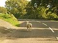 Poundsgate, sheep without indicators - geograph.org.uk - 1466671.jpg