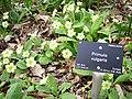 Primroses (Primula vulgaris) - geograph.org.uk - 177661.jpg