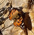Pristine Painted Lady. Vanessa cardui - Flickr - gailhampshire.jpg