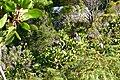 Protea cynaroides (8458756852).jpg