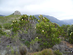 "Protea - The original South African ""suikerbossie"" (sugarbush) Protea repens"