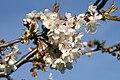 Prunus avium02.jpg
