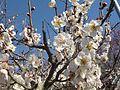 Prunus mume G01.JPG