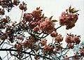 Prunus sakura 0020.jpg