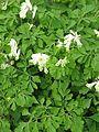 Pseudofumaria ochroleuca - Flickr - peganum.jpg