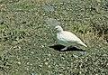Ptarmigan in winter plumage. Dated 81982. slide (dcc0f03c5e1c4001a02e3ee860b35afe).jpg