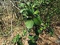 Pterocarpus santalinus 111.JPG