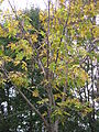Pterocarya rhoifolia3.jpg