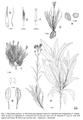 Ptilostemon-greuteri-iconografia.png