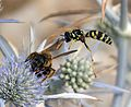 Pure chance. Paper Wasp ( Polistes gallicus^ ) diving into Bee, ( Halictus scabiosae ) - Flickr - gailhampshire.jpg