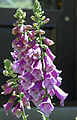 Purple Foxglove (Digitalis purpurea) 2008 02.jpg