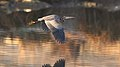 Purple Heron, Ardea purpurea, at Waterfall Estate, Gauteng, South Africa (35295449423).jpg