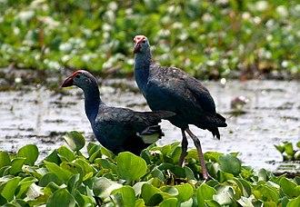 Kottayam - Purple Swamphen (Porphyrio porphyrio) photographed in Vembanad Lake, Kottayam
