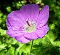 Purple flower (7289095752).jpg