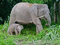Pygmy Elephants (Elephas maximus borneensis) mother and baby (8074160345).jpg