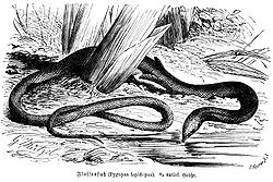 Pygopus lepidopodus.jpg