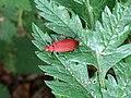 Pyrochroa serraticornis v2.jpg
