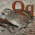 Q is for Quaglia.jpg