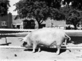 Queensland State Archives 1687 Champion Large White sow 1952.png