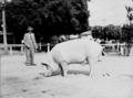 Queensland State Archives 1691 Champion Large White boar Royal National Association Exhibition 1951.png