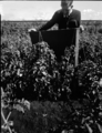 Queensland State Archives 1823 Leaf shrivelling virus on tomato crop April 1955.png