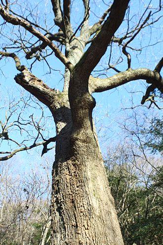 Quercus aliena - Tree in winter