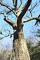 Quercus aliena.JPG