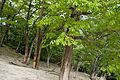 Quercus crispula 01.jpg