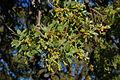 Quercus douglasii-19.jpg