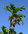 Quercus gambelii 3.jpg