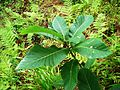 Quercus pontica-2.JPG